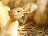 One funny yellow duckling