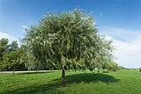 Healthy vigorous tree in the park