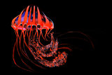 Red Blue Striped Jellyfish