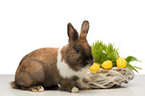 Brown bunny with wicker box and tulips