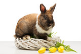 Brown bunny on wicker box and tulips