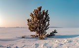 Frozen pine on winter field and blue sky. Sunrise