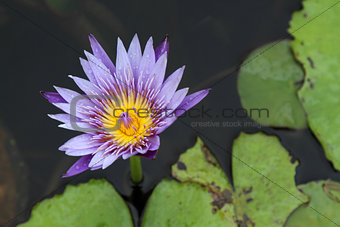 Close up lotus blossom