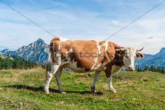 One mottled cow standing in a meadow