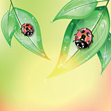 Red ladybugs on the green leaves after the rain.