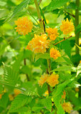 Kerria japonica or Pleniflora