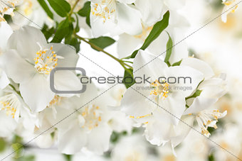 Branch of jasmine.