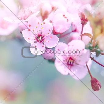 Beautiful cherry blossom border