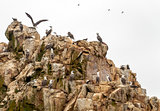 Wild birds and seagull on ballestas island, Peru