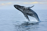 Breaching Hump Back Whale