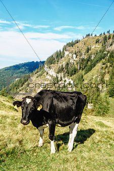 Black cow standing in a meadow