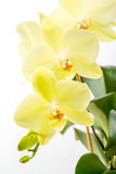 Yellow orchid (Phalaenopsis) close-up.