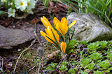 Yellow crocus in spring garden.
