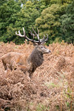 Red deer stag during rutting season in Autumn