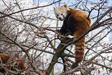 Red panda sitting in a tree