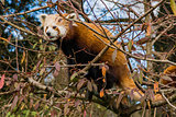 Red panda sitting in a tree, shown from the side