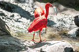 Scarlet ibis caught a fish