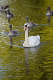 Swan mother and cygnets