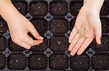 Child hands spreading seeds into germination tray