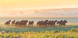 Herd of horses run at sunset