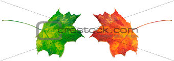 Green and red maple-leafs on white background