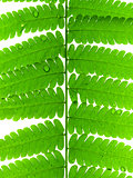 Green Leave of Fern