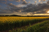Rural counttryside landscape and golden canola