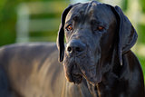 portrait of Great Dane blue