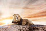 Big lion lying on rock