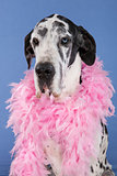 harlequin Great Dane sitting head shot isolated on blue backgrou