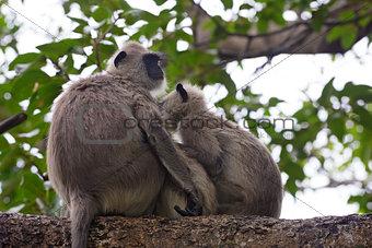 Pair of gray langurs