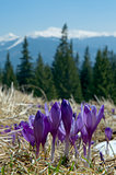 crocuses in mountains