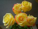 Bright yellow roses