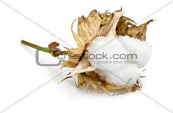 cotton - Gossypium hirsutum L. on white