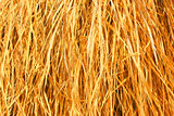 Yellow dry grass background