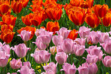 Bed of Red and Pink Tulips