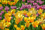 Bed of Orange and Pink Tulips
