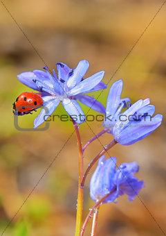 Single Ladybug on violet flowers