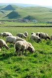 sheep eat grass on plain