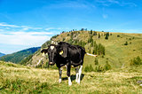 Holstein cow in the pasture of the austrian alps