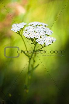 Achillea millefolium (yarrow) white wild flower