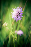 Cornflower on green meadow background