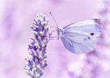 Gentle butterfly on lavender flower