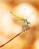Closeup portrait of dragonfly