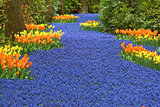 Blue river of muscari flowers