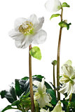 closeup of hellebore flowers and leaves