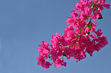 pink flowers and blue sky