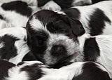 English Cocker Spaniel Puppies.