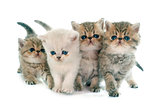 kitten exotic shorthair