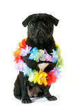 black pug and flower collar